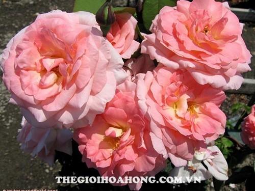 Độ sai hoa của hoa hồng bụi Liv Tyler (1)