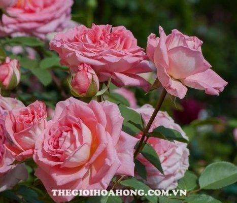 Độ sai hoa của hoa hồng bụi Liv Tyler (2)