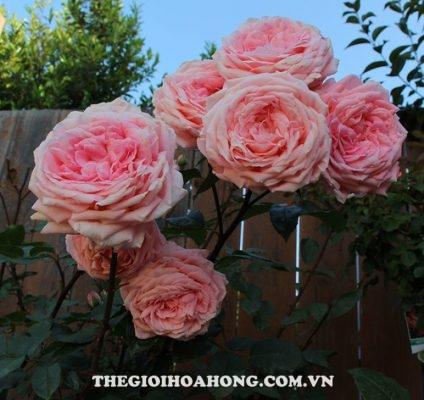 Độ sai hoa của hoa hồng bụi Liv Tyler (3)