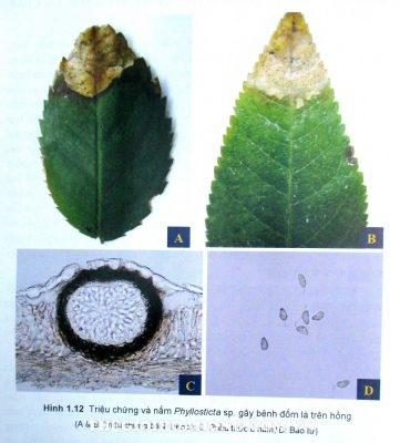 Triệu chứng cây hoa hồng bị nấm Phyllosticta  tấn công