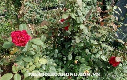 Cây hoa hồng bị nấm Phyllosticta  tấn công gây đốm lá
