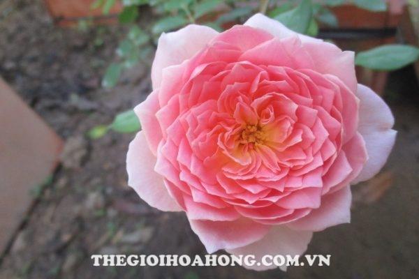 Cây hoa hồng khỏe trở lại khi trị khỏi nấm Phyllosticta