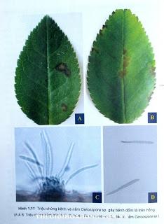 Nấm Cercospora  làm cho lá hoa hồng lốm đốm