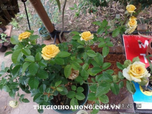 trồng cây hoa hồng
