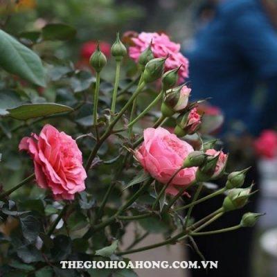 Hoa hồng Tree Rose Fair Sport