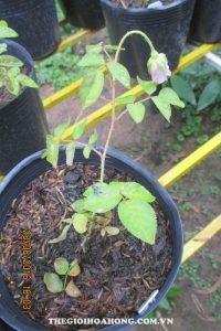 Hậu quả bón phân dư thừa cho hoa hồng (2)