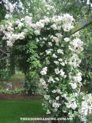 Hé lộ 4 loại hoa hồng leo màu trắng tuyệt đẹp (1)
