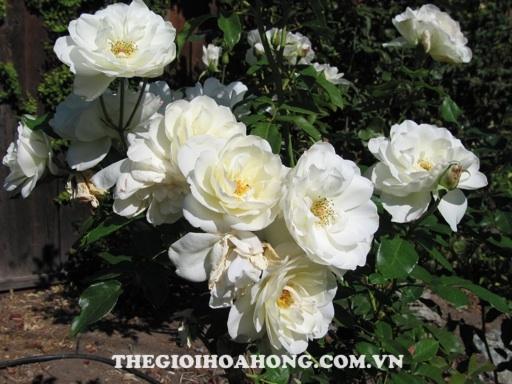 Hé lộ 4 loại hoa hồng leo màu trắng tuyệt đẹp (2)