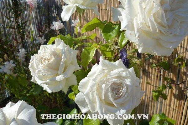 Hé lộ 4 loại hoa hồng leo màu trắng tuyệt đẹp (4)