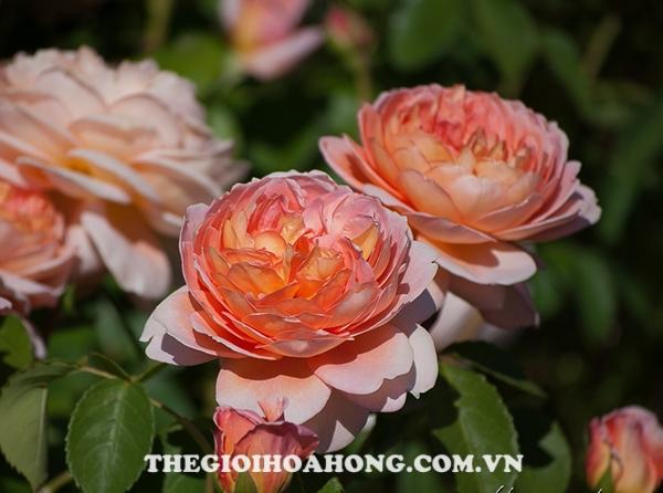 Hé lộ cách chăm sóc cây Hoa hồng leo Carding Mill (1)