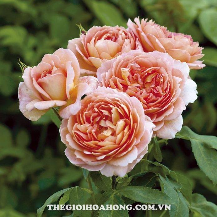 Hé lộ cách chăm sóc cây Hoa hồng leo Carding Mill (2)