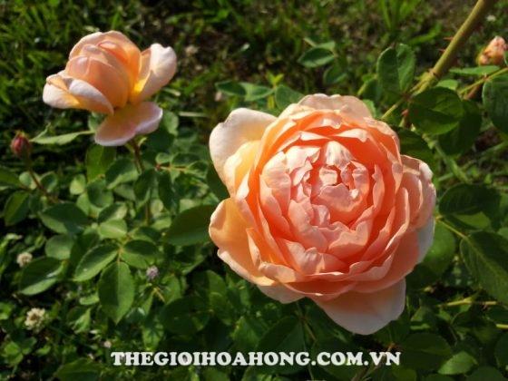 Hé lộ cách chăm sóc cây Hoa hồng leo Carding Mill (3)