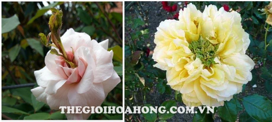 """Hiện tượng hoa hồng bị biến dị """"Rose Phyllody"""" (1)"""
