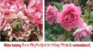 """Hiện tượng hoa hồng bị biến dị """"Rose Phyllody"""" (3)"""