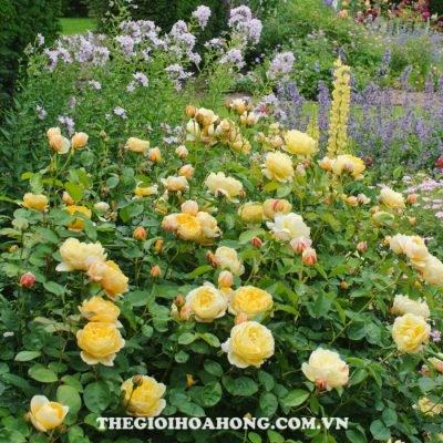 hoa hồng david austin