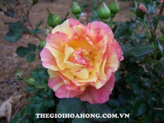 hoa hồng leo Citrus Splash