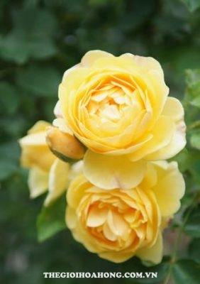 hoa hồng leo St Alban