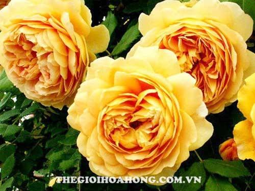 hoa hồng leo casino