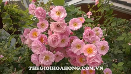 Cây hoa hồng leo hoa nhỏ