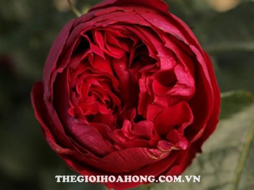 Giống hoa hồng màu đỏ đậm