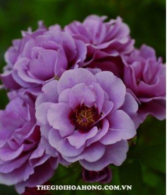 Hoa hồng Amethyst Babylon (2)