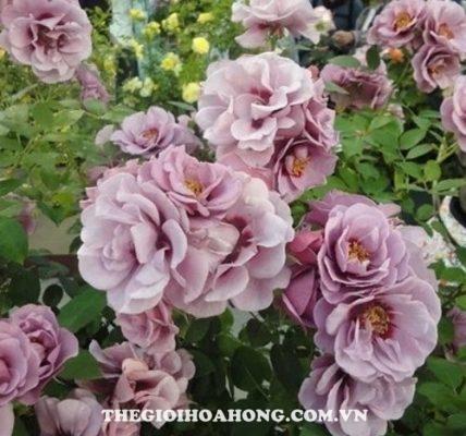 Hoa hồng Amethyst Babylon (4)