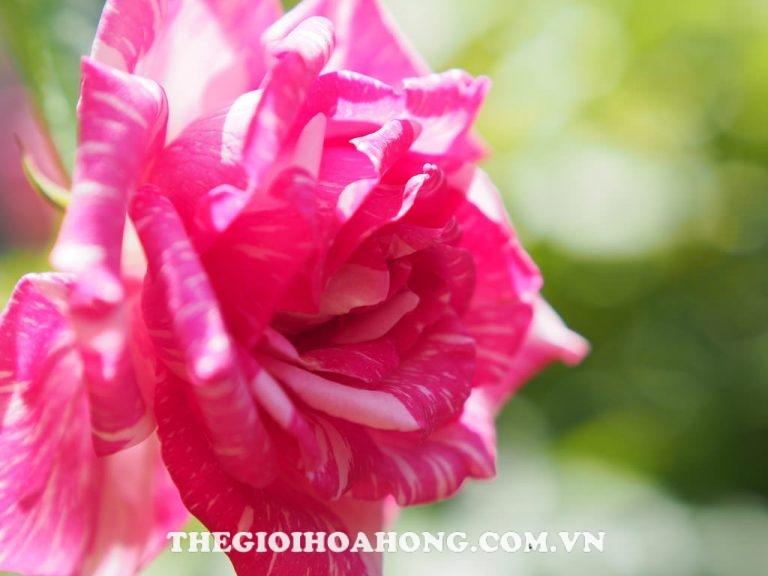 hoa-hong-Modern-Times rose