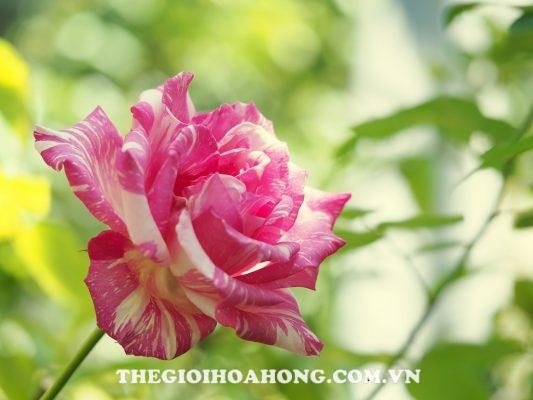 Hoa hồng leo Modern Times (1)