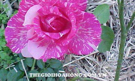 Hoa hồng leo Modern Times (2)