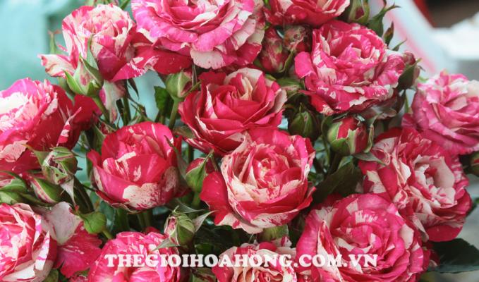 Hoa hồng leo Modern Times (3)