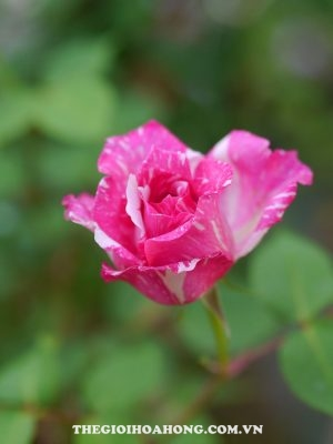 Hoa hồng leo Modern Times (4)