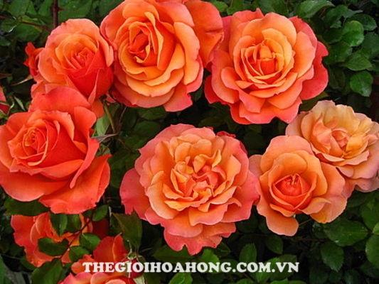 hoa hong TUSCAN ROSE