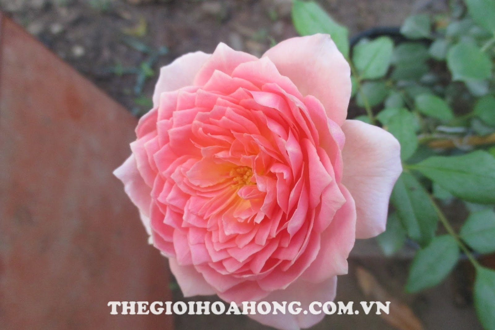 hoa-hong-Tree-Rose-Jubilee-Celebration-khoe-sac