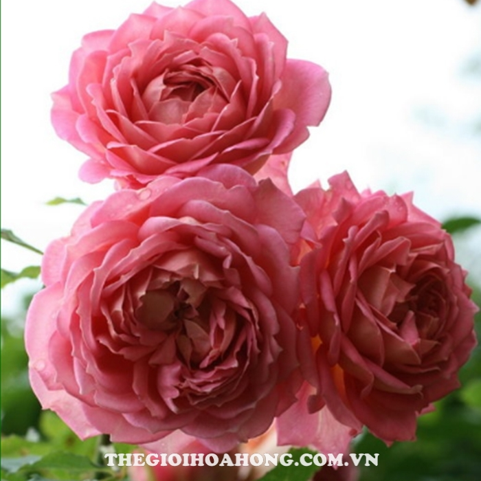 hoa-hong-Tree-Rose-Jubilee-Celebration