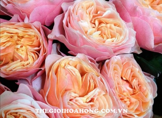 Hoa hồng Vuvuzela (3)