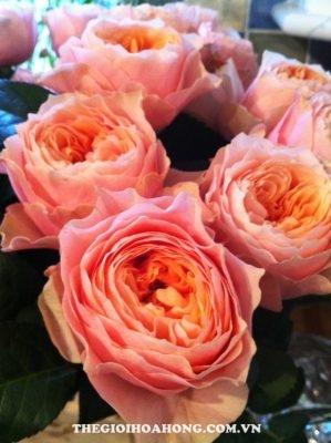 Hoa hồng Vuvuzela (4)