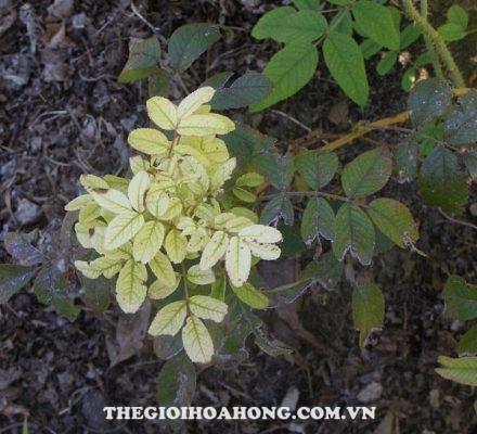 Hoa hồng bị vàng lá do thiếu sắt Fe phải làm thế nào? (3)