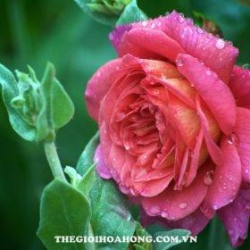 hoa hong bui Christopher Marlowe
