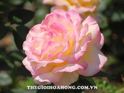 Hoa hồng bụi Double Delight