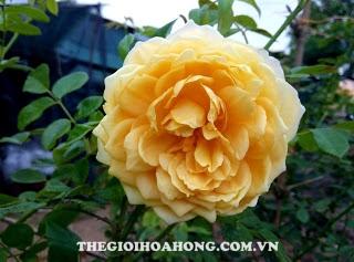 hoa hong bui GOLDEN CELEBRATION 4
