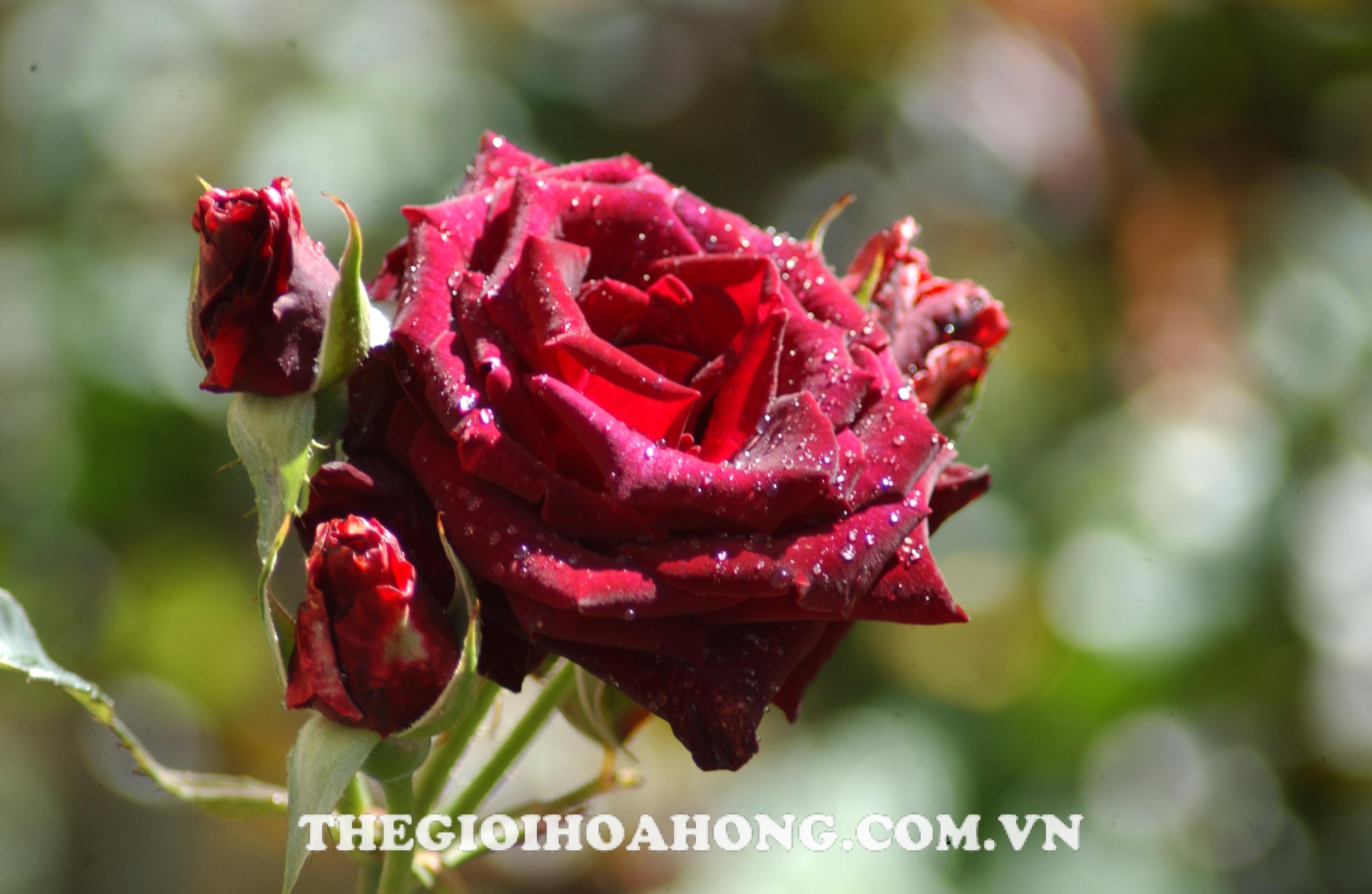 hoa hong bui Red Bacara