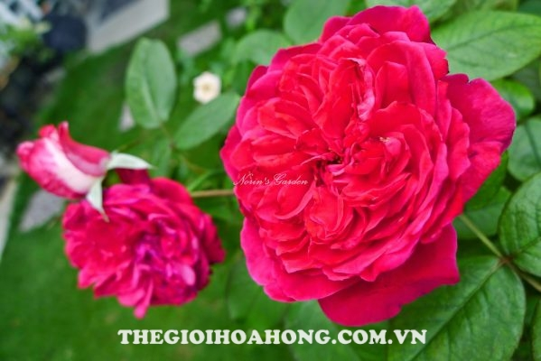 hoa hong bui Rouge Royale