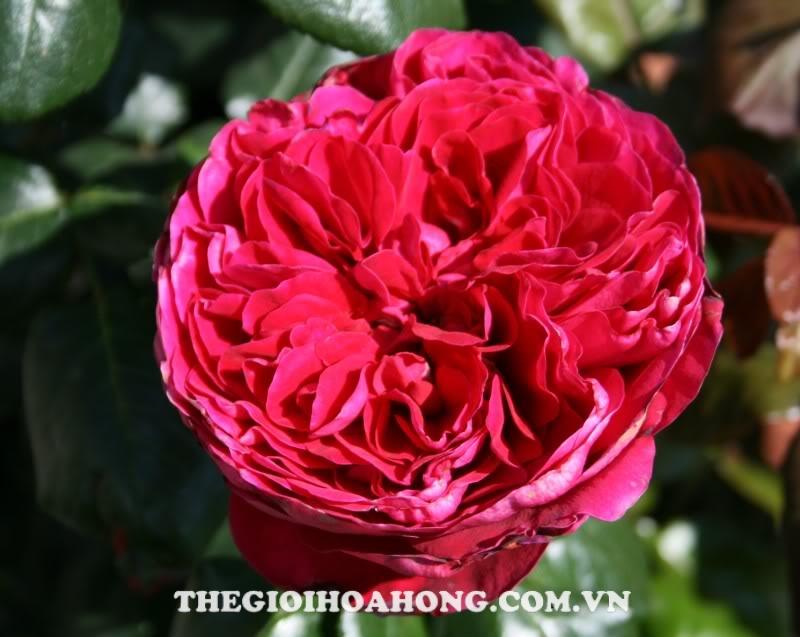 hoa hong bui Rouge Royale