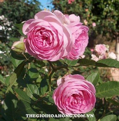 Hoa hồng bụi Aunt Margy''s
