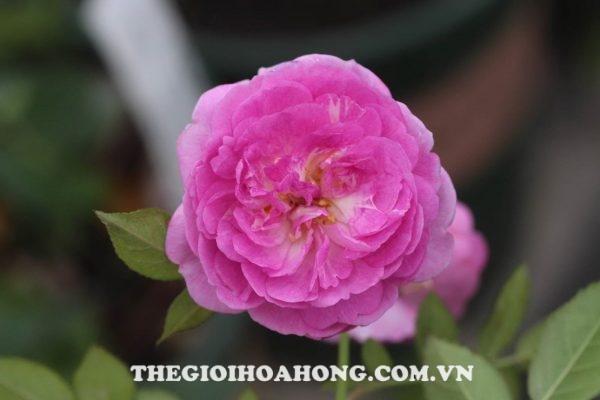 hoa-hong-bui-aunt-mary-4