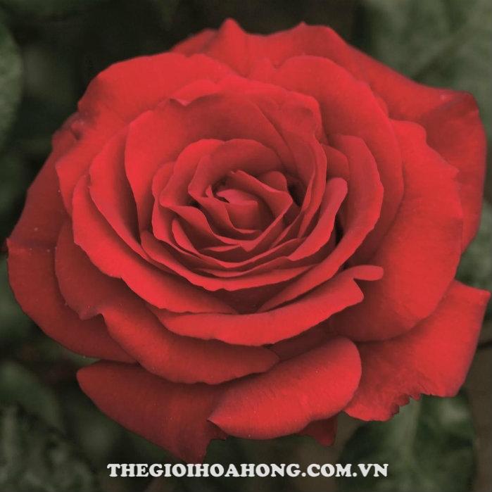 hoa-hong-bui-crimson-bouquet