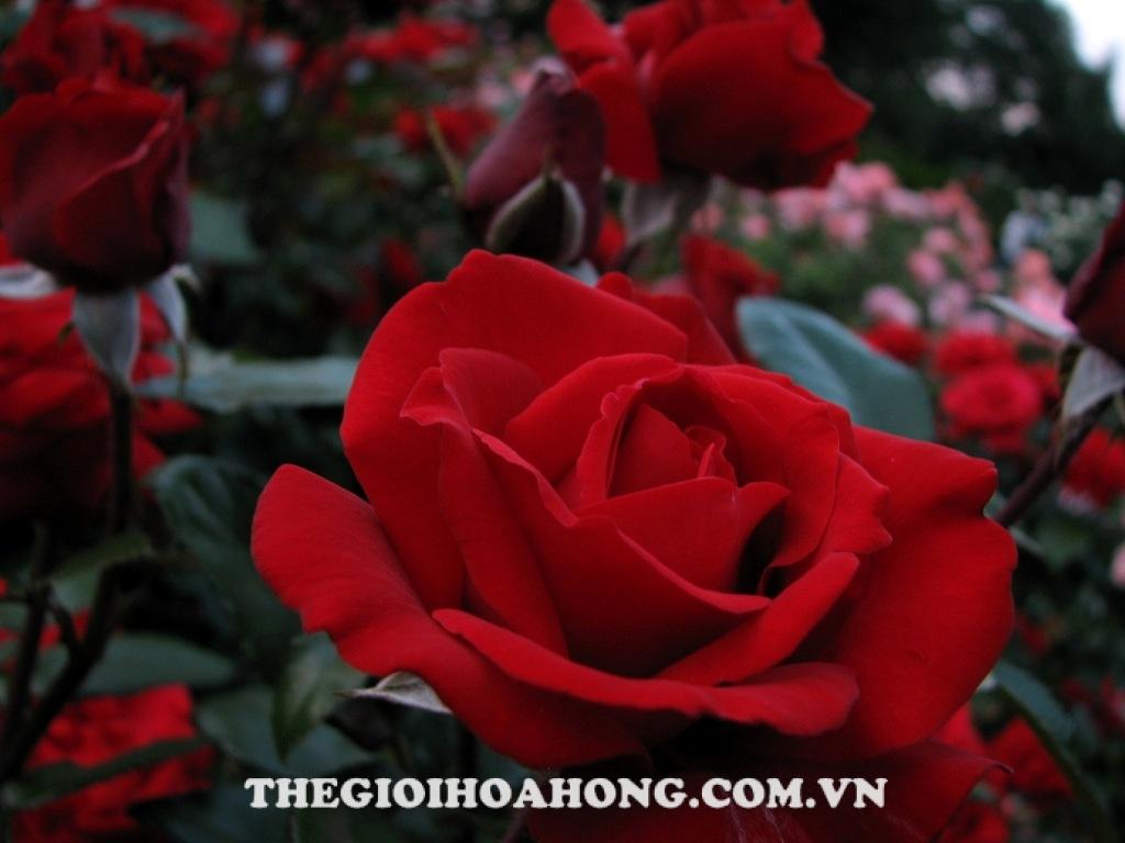 Hình ảnh hoa hồng bụi crimson bouquet