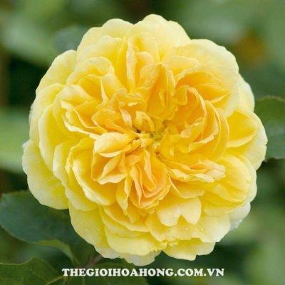 Hoa hồng Molineux