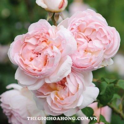 Hoa hồng Sharifa Asma