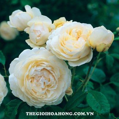 Hoa hồng bụi Windermere